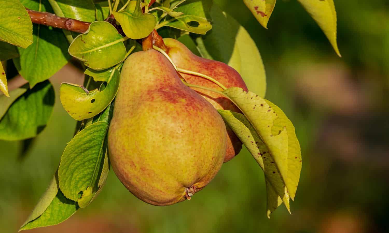 how to grow pears