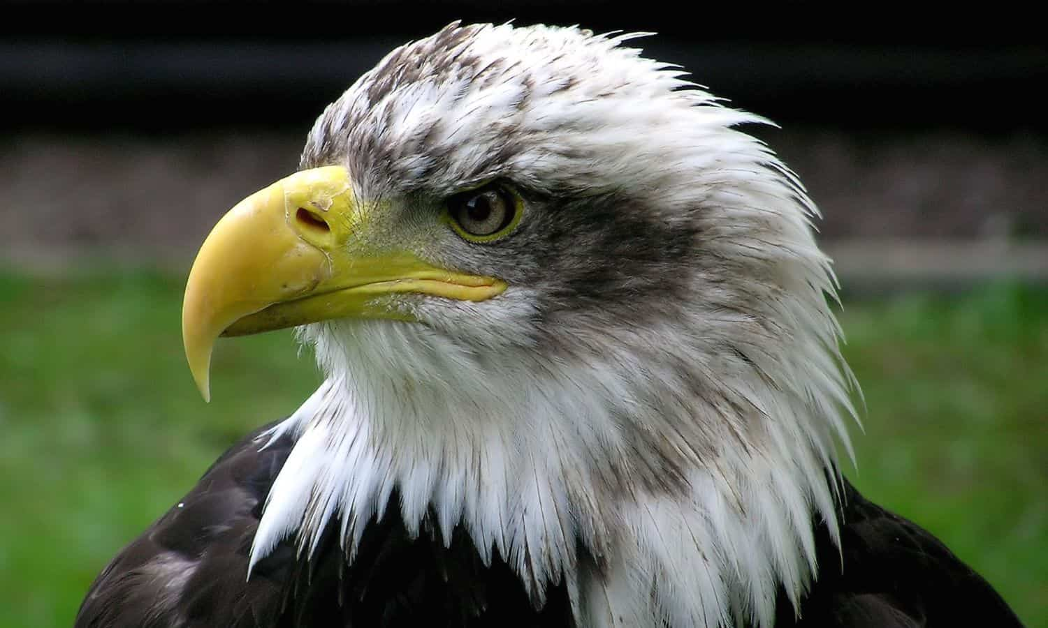 facts about bald eagles