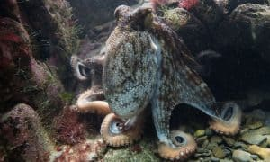 interesting facts about octopus's