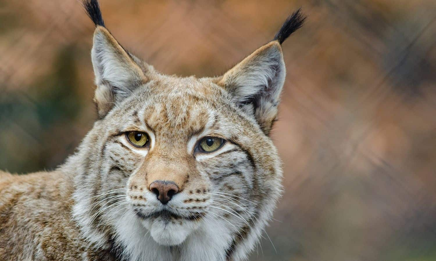 interesting facts about bobcats
